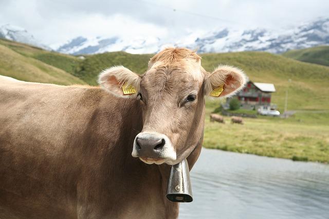 kráva v horách